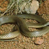 99_Mulga Snake_Wells