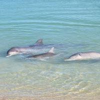 Monkey Mia dolphins 3 generations Puck Piccolo Dizi KW
