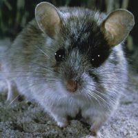 Shark Bay Mouse WELLS